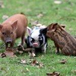 Varkens fourage en stalstrooisels - Fouragehandel de Boer